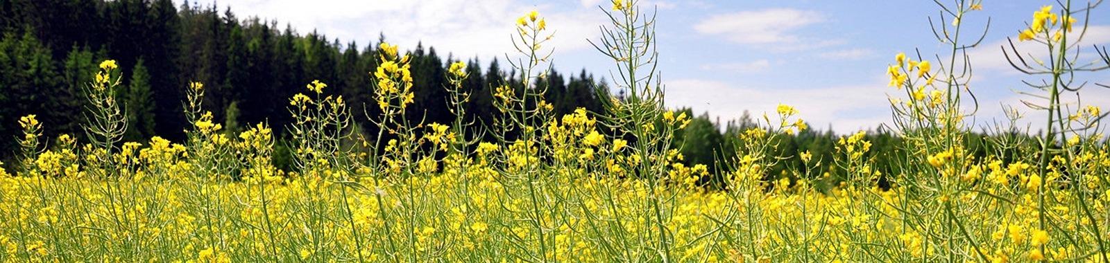 Kevätöljykasvien viljely