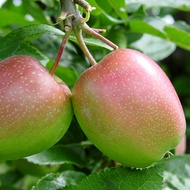 Minimizing Incidence of Pome Fruit Rots and Diseases