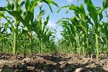 Gødningsforslag majs
