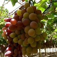 Manipulación Estacional del Cultivo