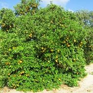 Citrus Gumming