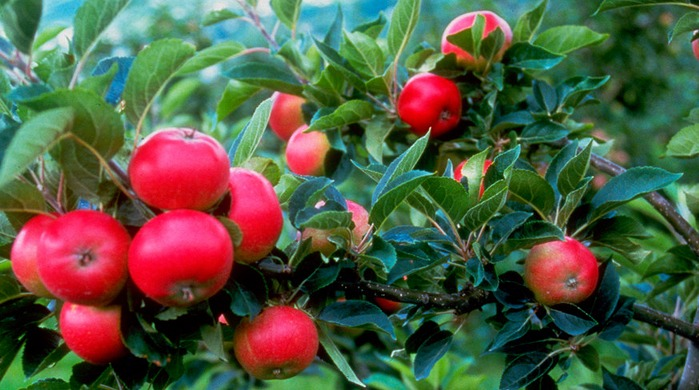 how to influence pome fruit quality