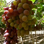 Improving Juice Content in Table Grape