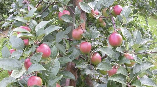 Produkcja światowa jabłek