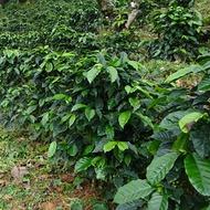 Como aprovechar mejor el agua en la producción de café