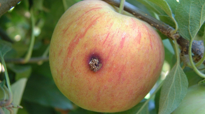 apple crop protection, codling moth damage