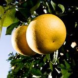 Cítricos en el árbol