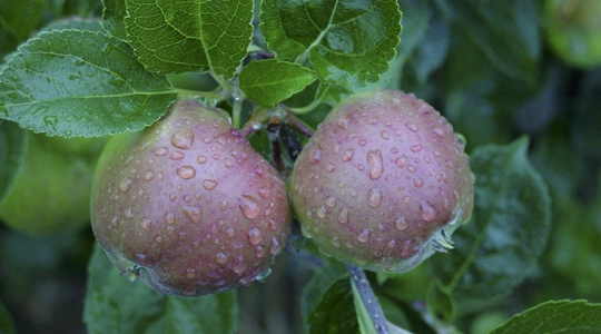Tipos de frutos de pepita