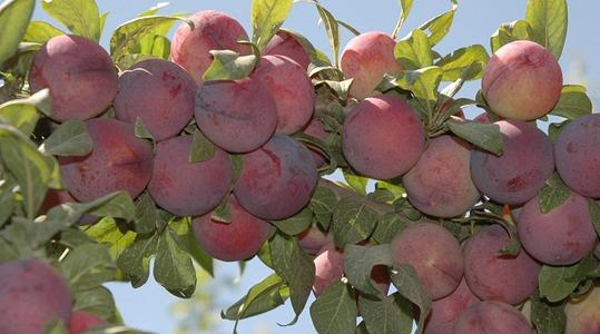 Aumento delle dimensioni e del peso dei frutti delle drupacee