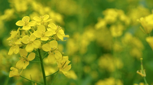 How to influence canola quality