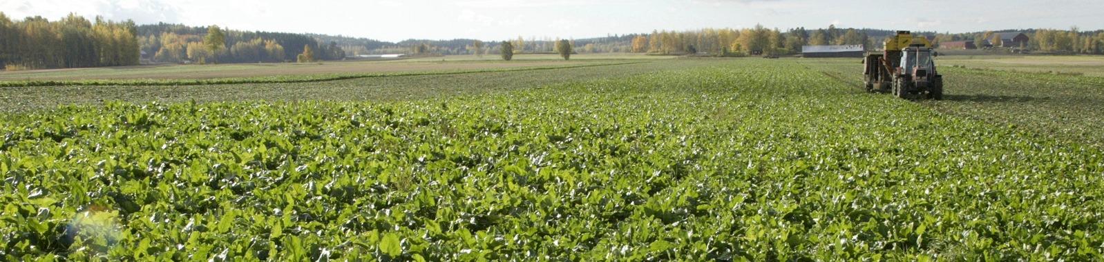 Sokerijuurikkaan viljely