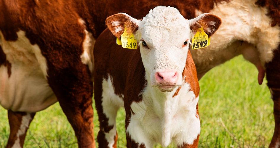 Hivenravinteet ja karjanlanta