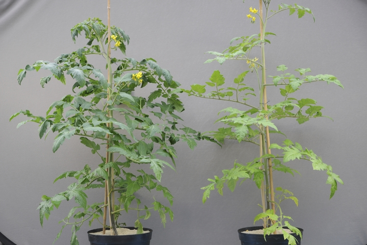 tomato trees with and without nutrient deficiency