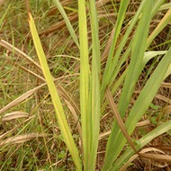 Amarillamiento de hojas jovenes en caña de azúcar y nutrición vegetal