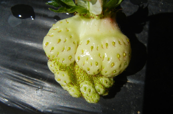 Malformed fruit
