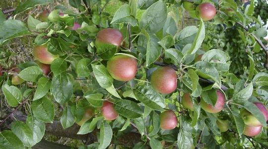 Función de Magnesio en frutales de pepita