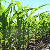Удобрення кукурудзи на зерно