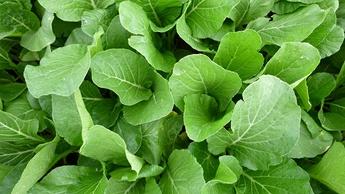 Leafy Brassica