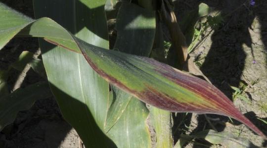 Color rojízo en el maíz