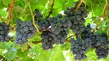 Improving table grape skin strength/firmness