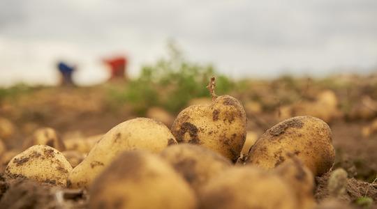 Mejorar la calidad de la patata