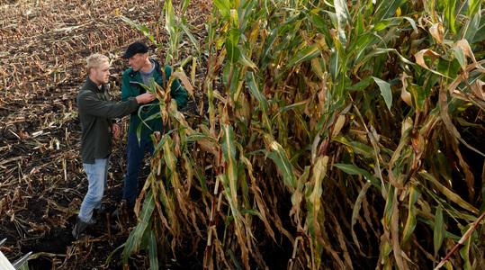 Incrementar el rendimiento del maíz forrajero