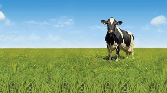 Ko i hagen
