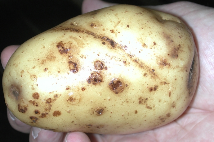 potato common scab