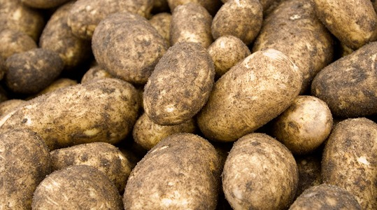 how to influence potato starch content and quality