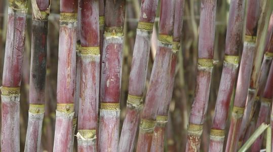 Increasing Sugarcane Quality
