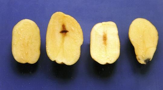 yara, fertilizante, batata