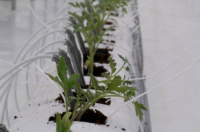 Fertigation in tomatoes