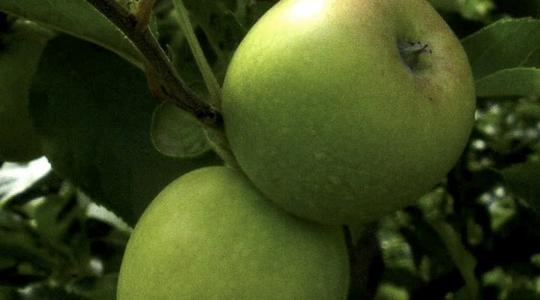 Increasing apple weight