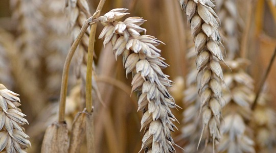 Wheat nutrient application timing