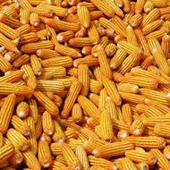 Повышение урожайности кормовой кукурузы