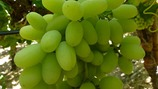 Influencing table grape color