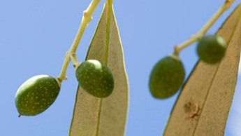 Olives Crop Nutrition
