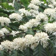 Aumentando o Florescimento do Café e Pegamento dos Frutos