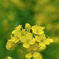 Oilseed Rape Liquid Fertilizer Crop Nutrition Programme