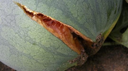 Reducing melon fruit cracking