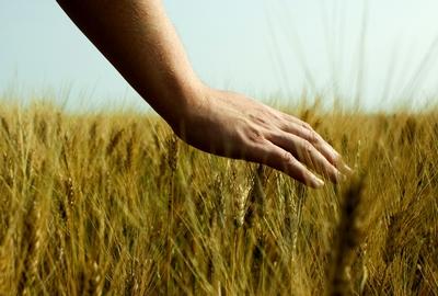 Hand över kornfält