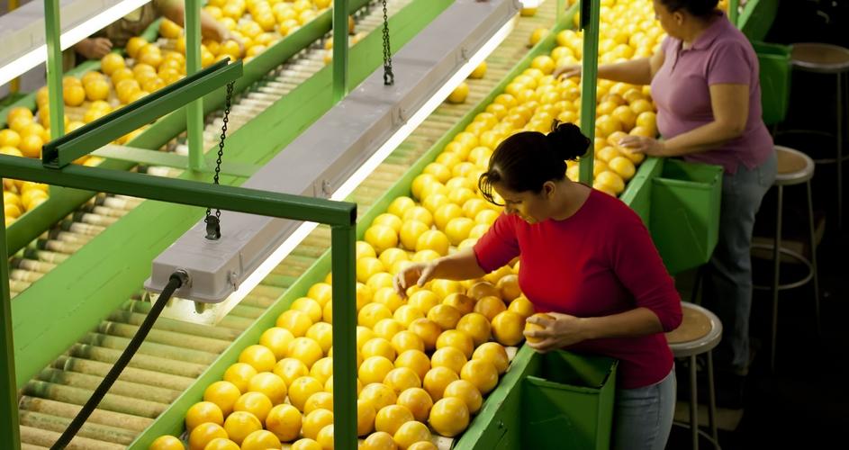 women sorting oranges before packaging