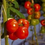 Tomato US Production