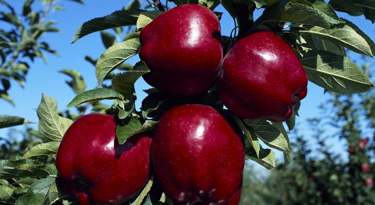 Función de nutrientes por fase de desarrollo en frutales de pepita