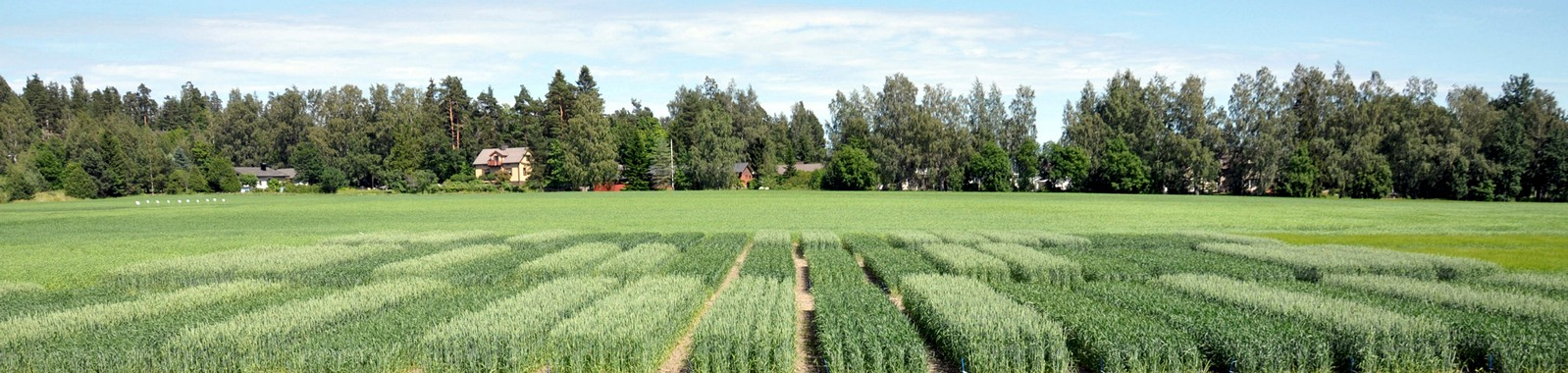 Vehnän viljely Kotkaniemessä