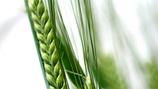 Increasing Wheat Grain Numbers per Ear