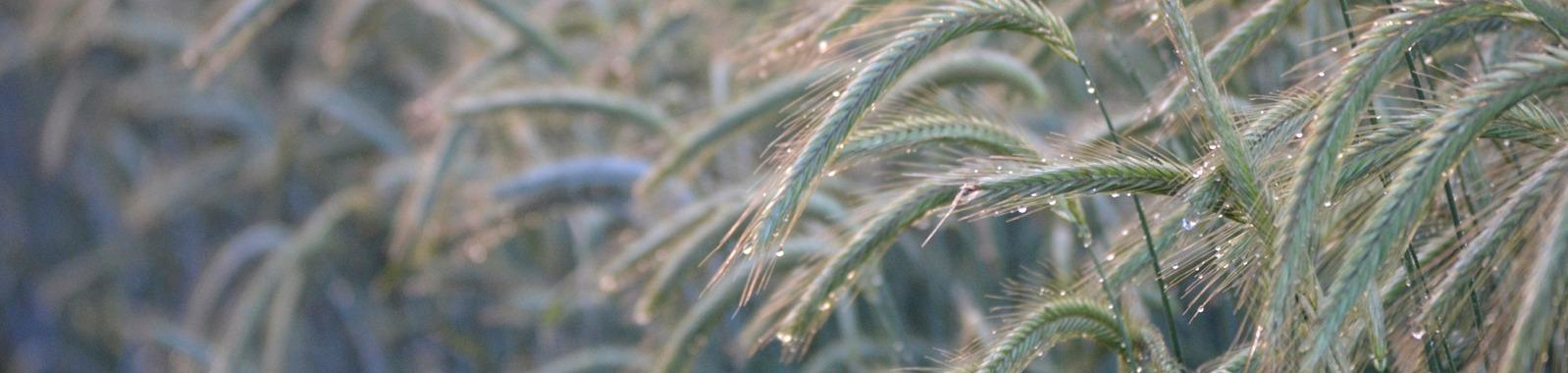 Ravinteiden merkitys rukiin viljelyssä