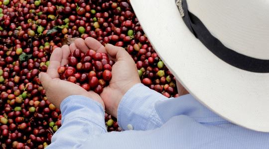 Rendimiento de café