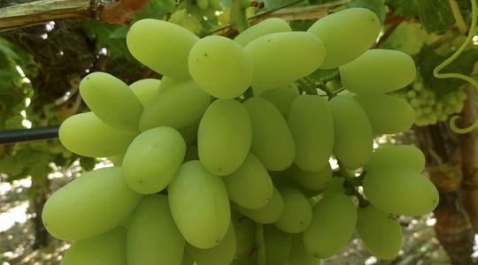tamaño y forma de la uva