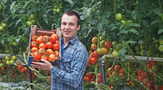Het verhogen van de tomatenopbrengst